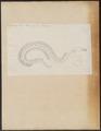 Muraena nebulosa - 1774-1804 - Print - Iconographia Zoologica - Special Collections University of Amsterdam - UBA01 IZ15200045.tif