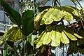 Musanga cecropioides-Jardin botanique Meise (1).jpg