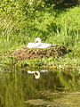 Mute swan (Cygnus olor) - geograph.org.uk - 1308534.jpg