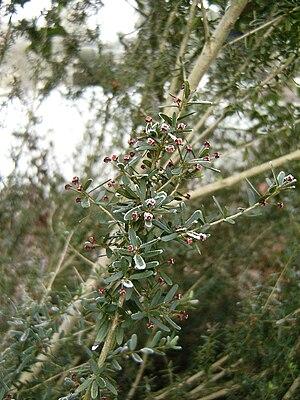 Myrceugenia - Myrceugenia leptospermoides