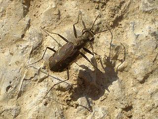 <i>Myriochila</i> genus of insects
