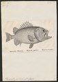 Myripristis japonicus - 1809-1845 - Print - Iconographia Zoologica - Special Collections University of Amsterdam - UBA01 IZ12900031.tif