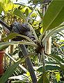 Myrmecodia tuberosa BotGardBln1105k.jpg