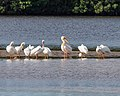 Mystery Pelican with American White Pelicans (25361293366).jpg