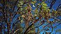 N20170330-0009—Quercus kelloggii—RPBG—DxO (33496955520).jpg