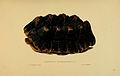 N46 Sowerby & Lear 1872 (chelonoidis carbonaria).jpg
