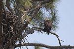 NASA Kennedy Wildlife - Bald Eagle (5).jpg