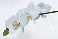 Nachtfalter Orchidee, Phalaenopsis 08.JPG