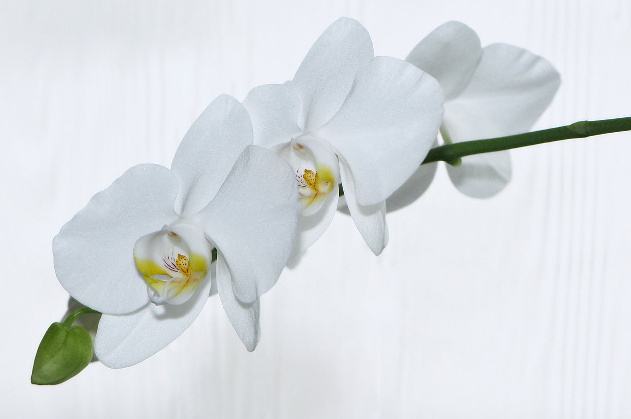 file nachtfalter orchidee phalaenopsis 08 jpg wikimedia. Black Bedroom Furniture Sets. Home Design Ideas