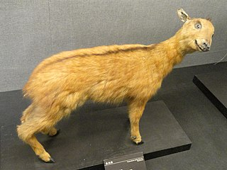 Red goral species of mammal