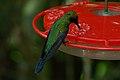 Napo Sabrewing (Campylopterus villaviscensio) 2015-06-14 (1) (40329243841).jpg