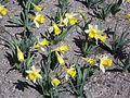 Narcissus 'Topolino'.JPG