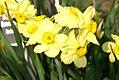 Narcissus Canarybird 0zz.jpg