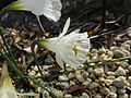Narcissus romieuxii ssp albidus var zaianicus f zaianicus1.jpg