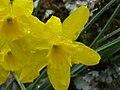 Narcissus rupicola EnfoqueFrontal 2011-3-09 PtoNiefla SierraMadrona.jpg