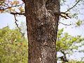 Naringi crenulata (5656907620).jpg