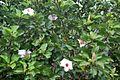 Native White Hibiscus (Hibiscus arnottianus)- Koki`o kea (2857475527).jpg