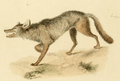 Natural History of New York (1842) Canis lycaon.png