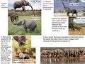 Natural Selection of Elephants.pdf