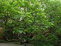 Naturdenkmal.2-27B.VI-7B.Suedlicher.Trompetenbaum.Wartburgstrasse.1.jpg