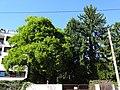 Naturdenkmal 610 1.JPG