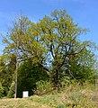 Naturdenkmal Stiel-Eiche am Wiesensteig in St. Martin (VS 12)g.JPG