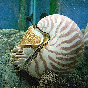 Nautilus bears a pinhole eye