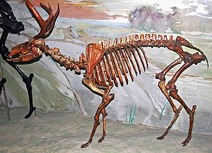 American mountain deer - Mounted skeleton