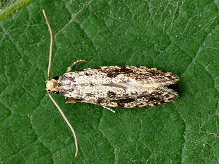 Nemapogoninae subfamily of insects