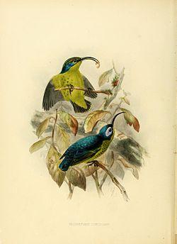 Neodrepanis coruscans.jpg