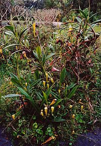 Nepenthes-fort-dauphin-MG.jpg