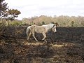 New Forest pony on burnt heathland between Howen Bottom and Homy Ridge - geograph.org.uk - 27310.jpg