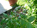 Nezreli plodovi borovnice Djuk (2).JPG