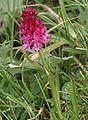 Nigritella rubra ENBLA02.JPG