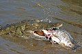Nile Crocodile (Crocodylus niloticus) trying to swallow a big Tilapia (Oreochromis sp.)... (16212208274).jpg