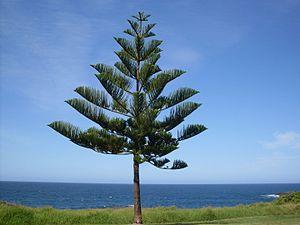 Norfolk-Tanne (Araucaria heterophylla), Norfolkinsel