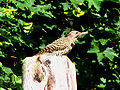 Northern (Yellow-shafted) Flicker, Ottawa.jpg