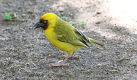 Northern Brown-throated Weaver (Ploceus castanops) (45671971275).jpg