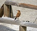 Northern Wheatear, Oenanthe oenanthe, female (39254340974).jpg