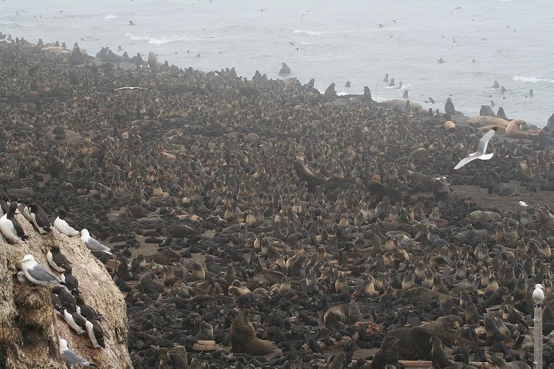 Файл:Northern fur seal rookery tuleny.jpg