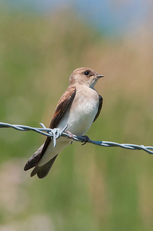 Northern rough-winged swallow - Adult