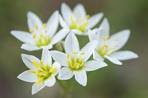 Gilliesieae - Nothoscordum bivalve