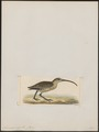 Numenius major - 1820-1860 - Print - Iconographia Zoologica - Special Collections University of Amsterdam - UBA01 IZ17400055.tif