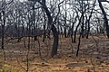 Oak trees that where severely damaged in a wildfire that occurred three weeks earlier. (24816046680).jpg