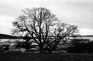 Oak Harbor, Washington - Image: Oakharboroak