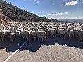 Obejo sheep.jpeg