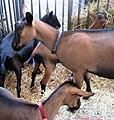 Oberhasli Goats.jpg
