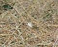 Obična grmuša (Sylvia communis), Common Whitethroat.jpg