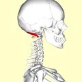 Obliquus capitis superior muscle03.png