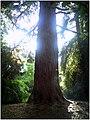 October University Freiburg Plaza - Master Botany Photography 2013 Giant Redwood - series Germany Diamond pictures - panoramio.jpg